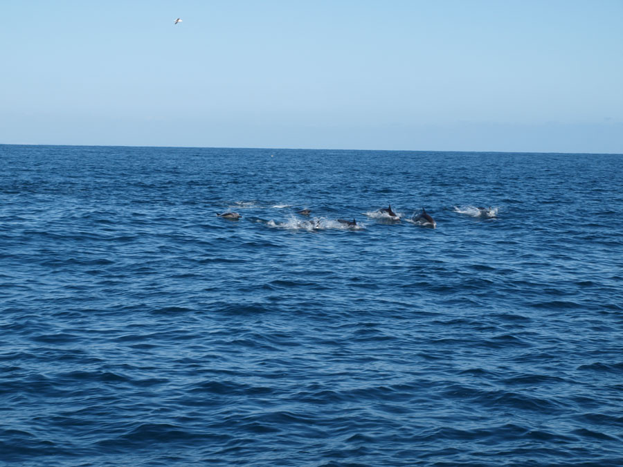 Delfinschule beim Whale Whatching